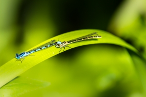 male-and-female-dragonflies-1446389-m
